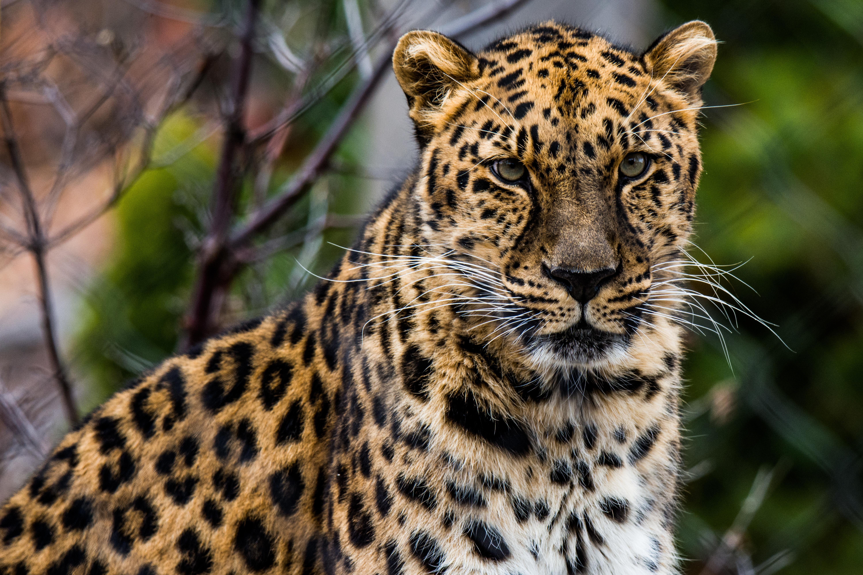 Картинка: Леопард, хищник, кошка, зверь, усы, морда
