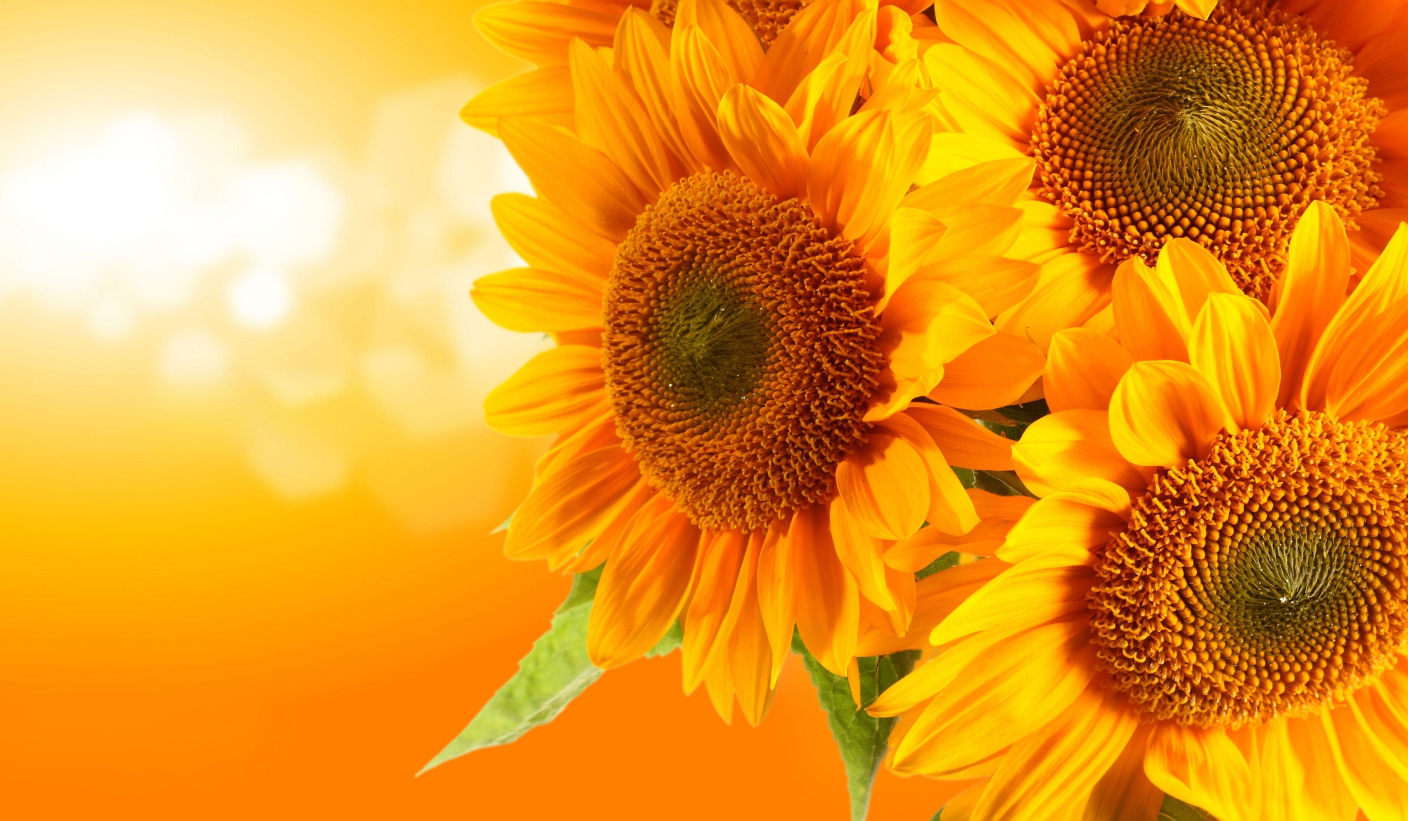 Картинка: Подсолнух, цветы, жёлтые, боке, фон