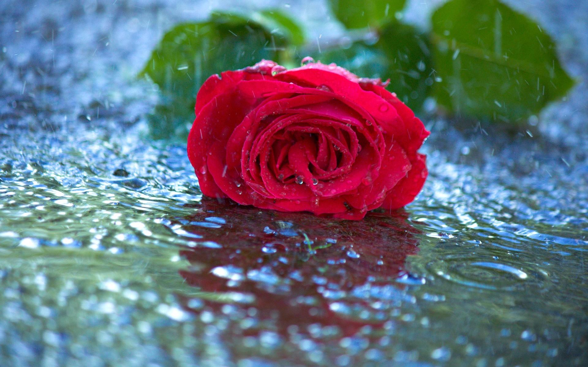 Картинка: Цветок, роза, красная, лежит, листья, вода, дождь, капли