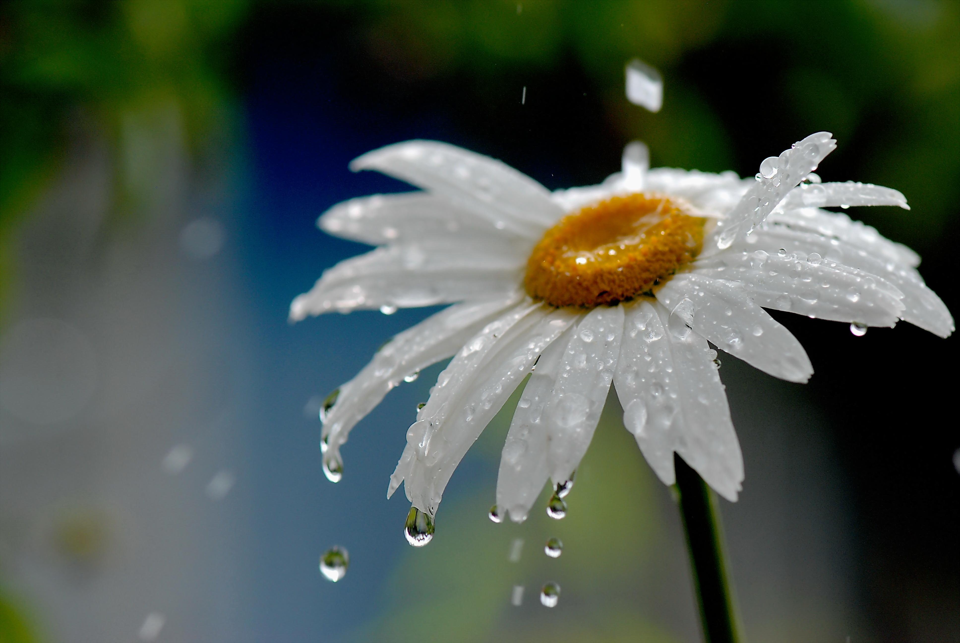 Image: Camomile, drop, petals, rain, water, flower