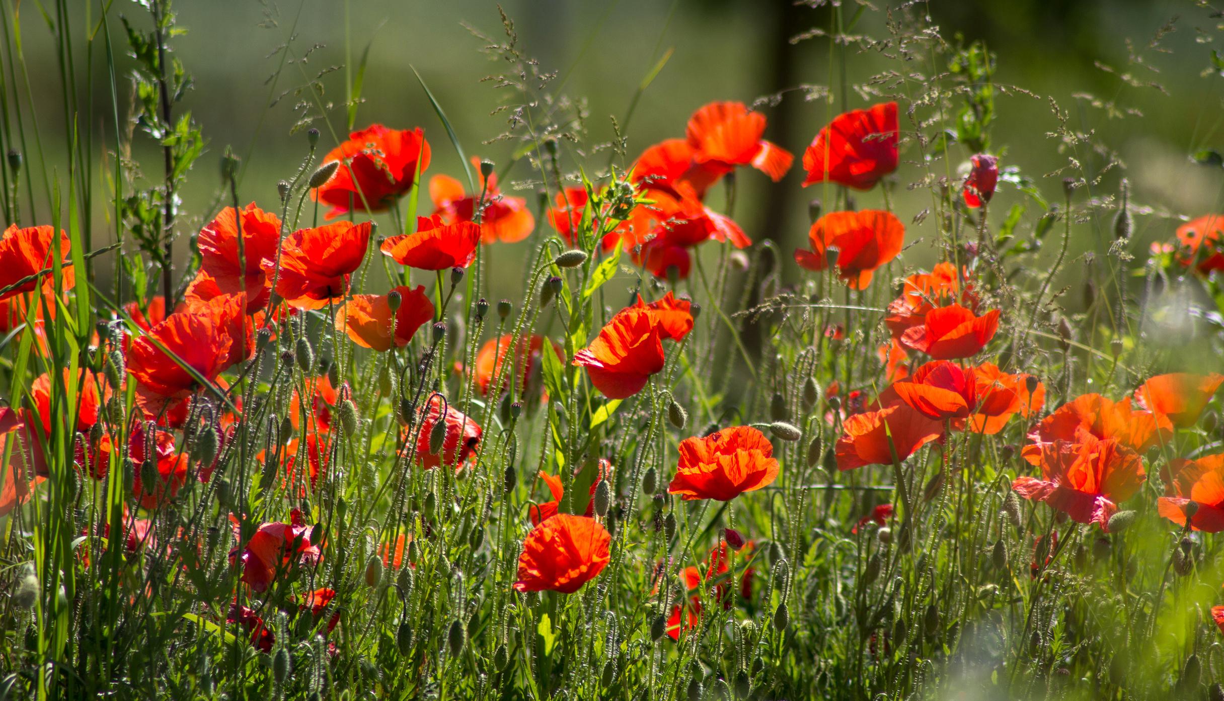 Картинка: Мак, цветы, трава, солнечный свет, лето