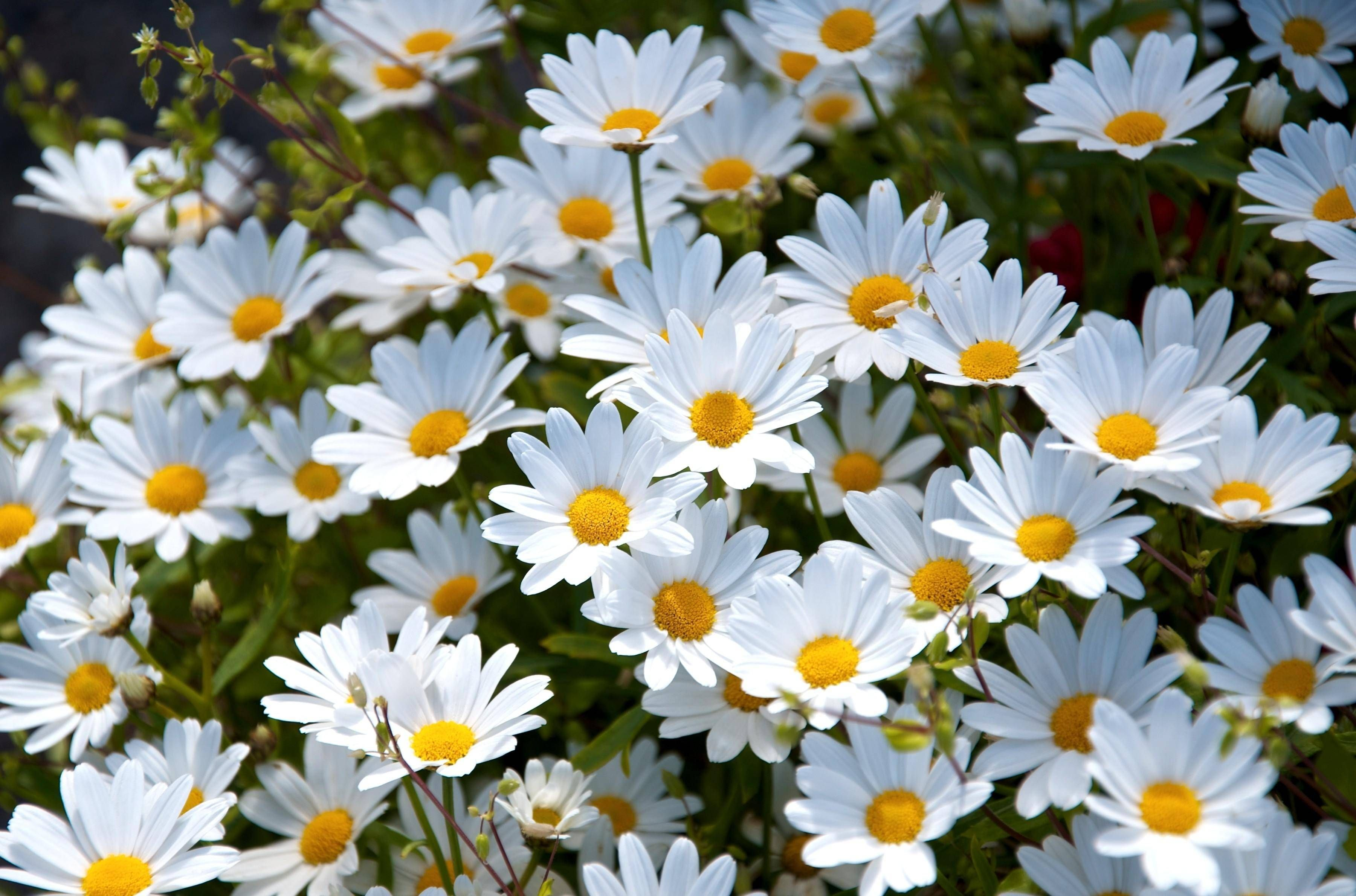 Image: flowers, chamomiles, many, white, petals