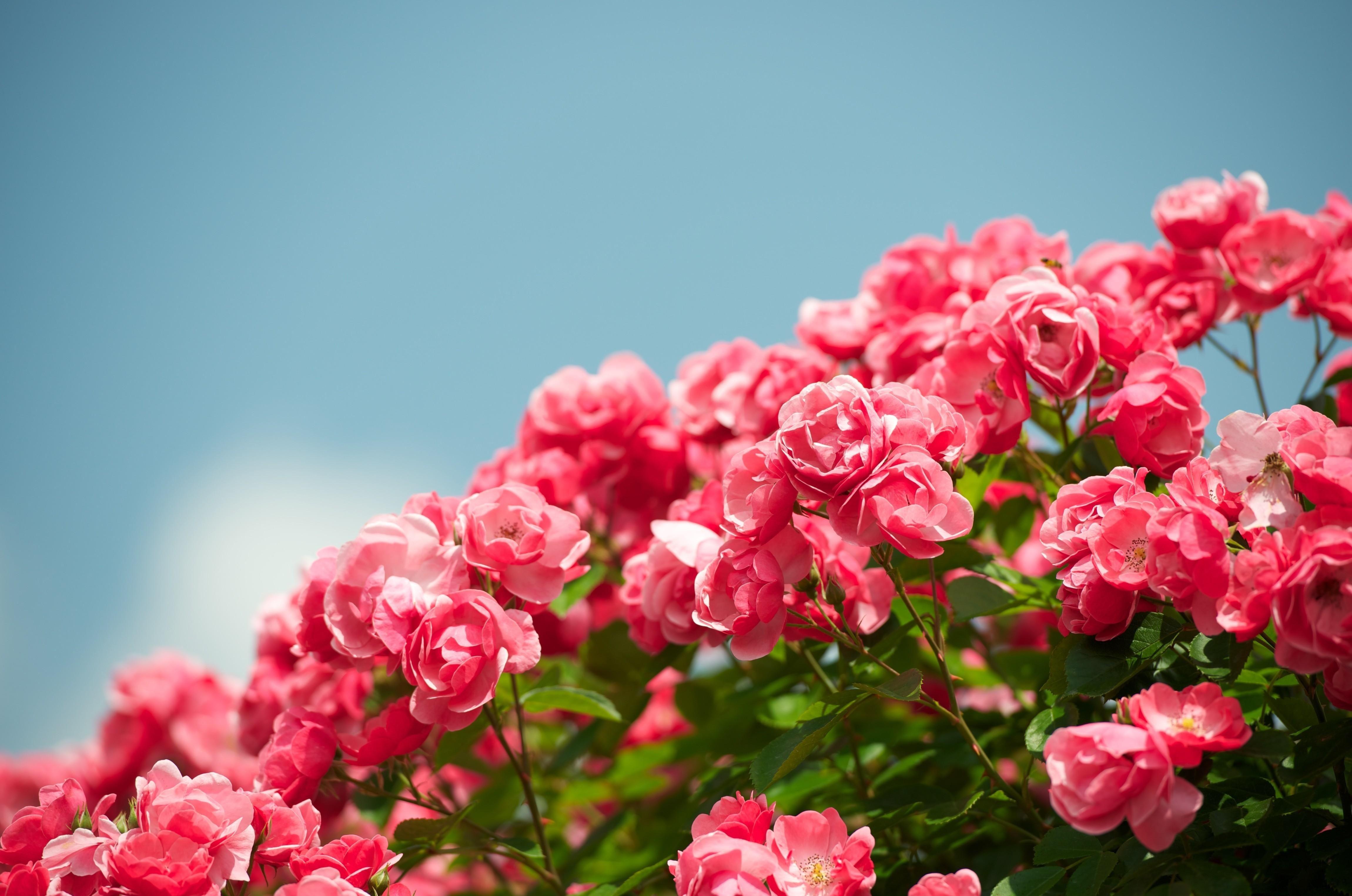 Картинка: Цветы, розы, кустарник, небо