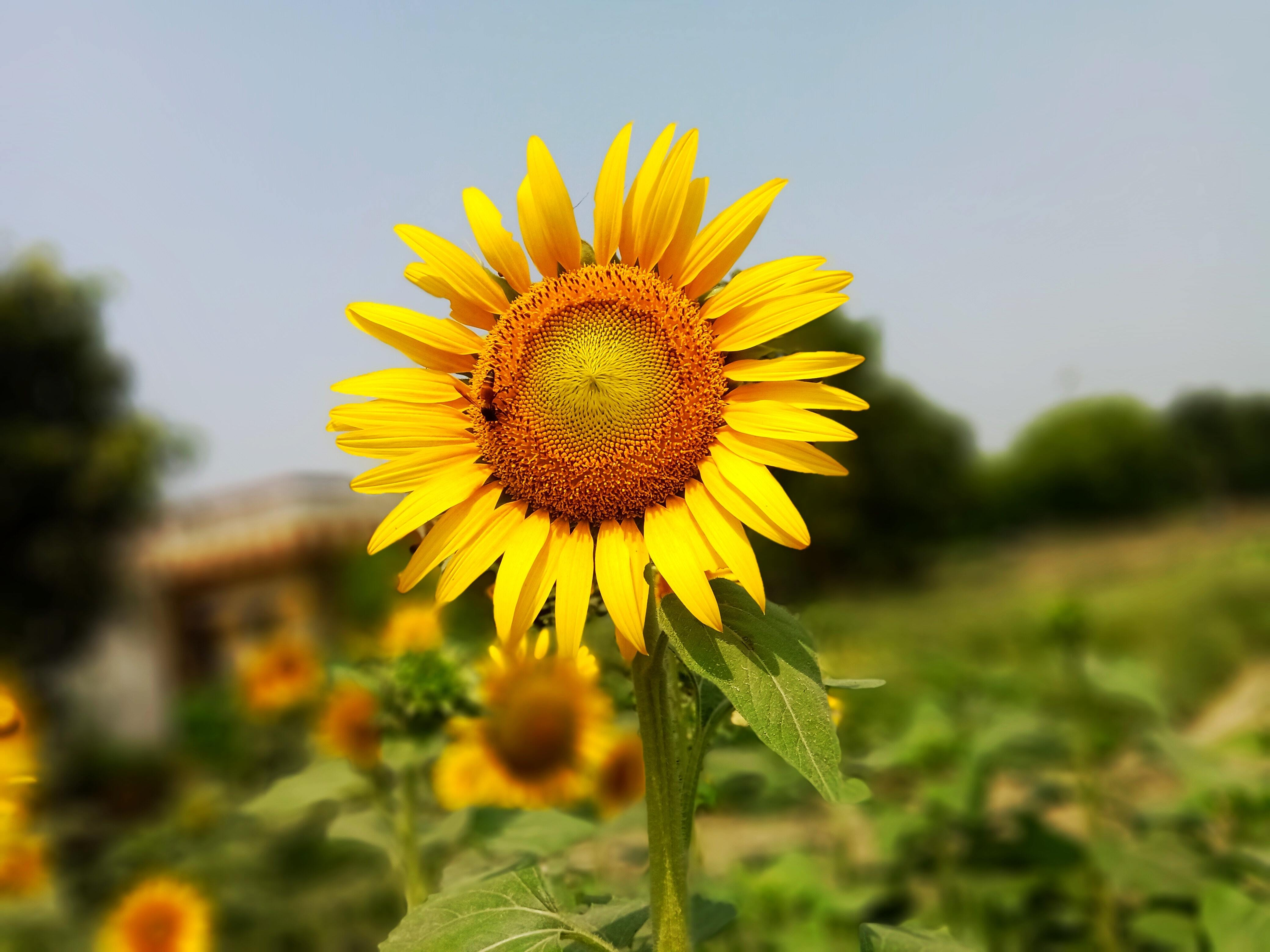 Картинка: Подсолнух, насекомое, пчела, поле, размытие