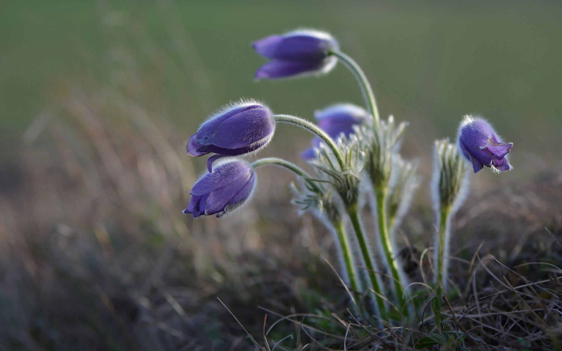 Image: Sleep-grass, Pasqueflower, flowers, field, plant, nature, macro, blurring