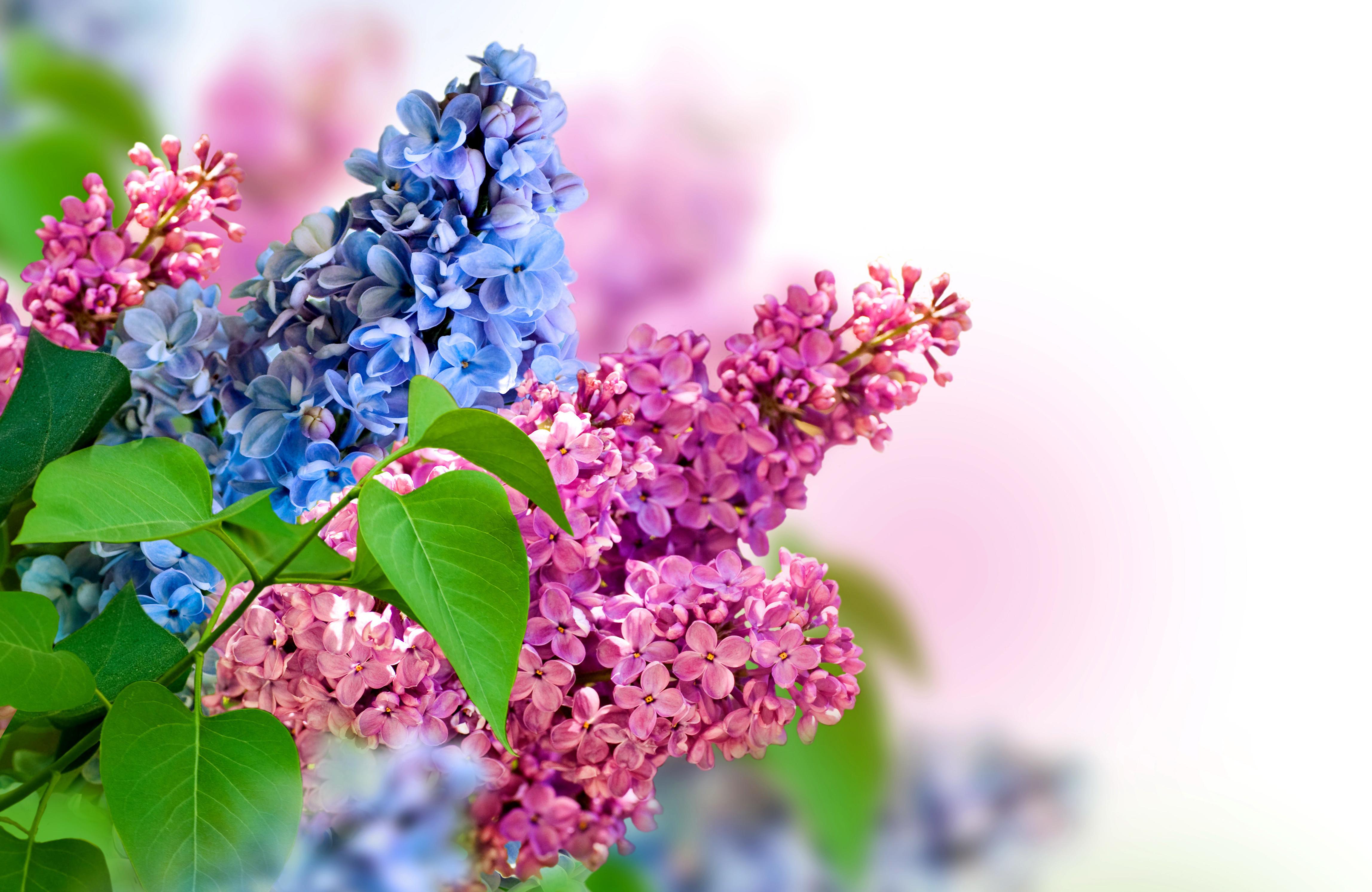 Картинка: Сирень, цветы, яркая