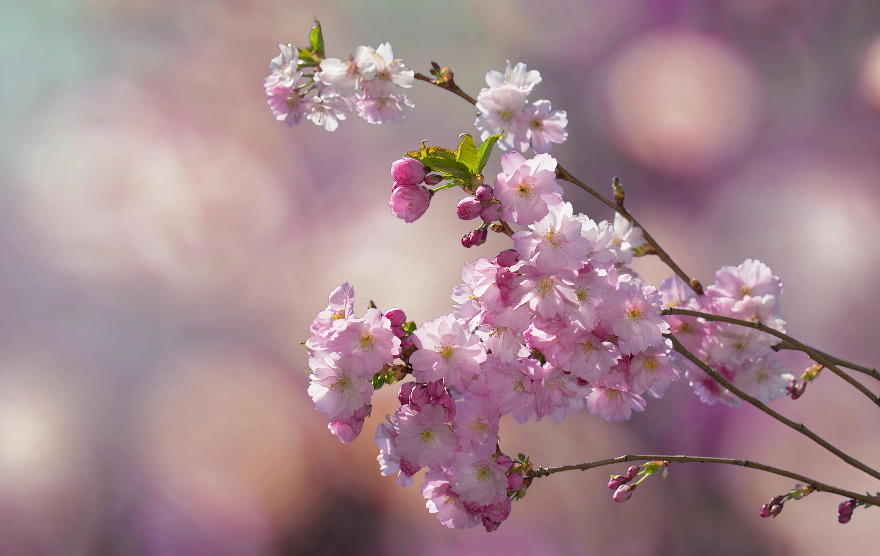 Картинка: Ветка, цветы, цветёт, фон, размытость