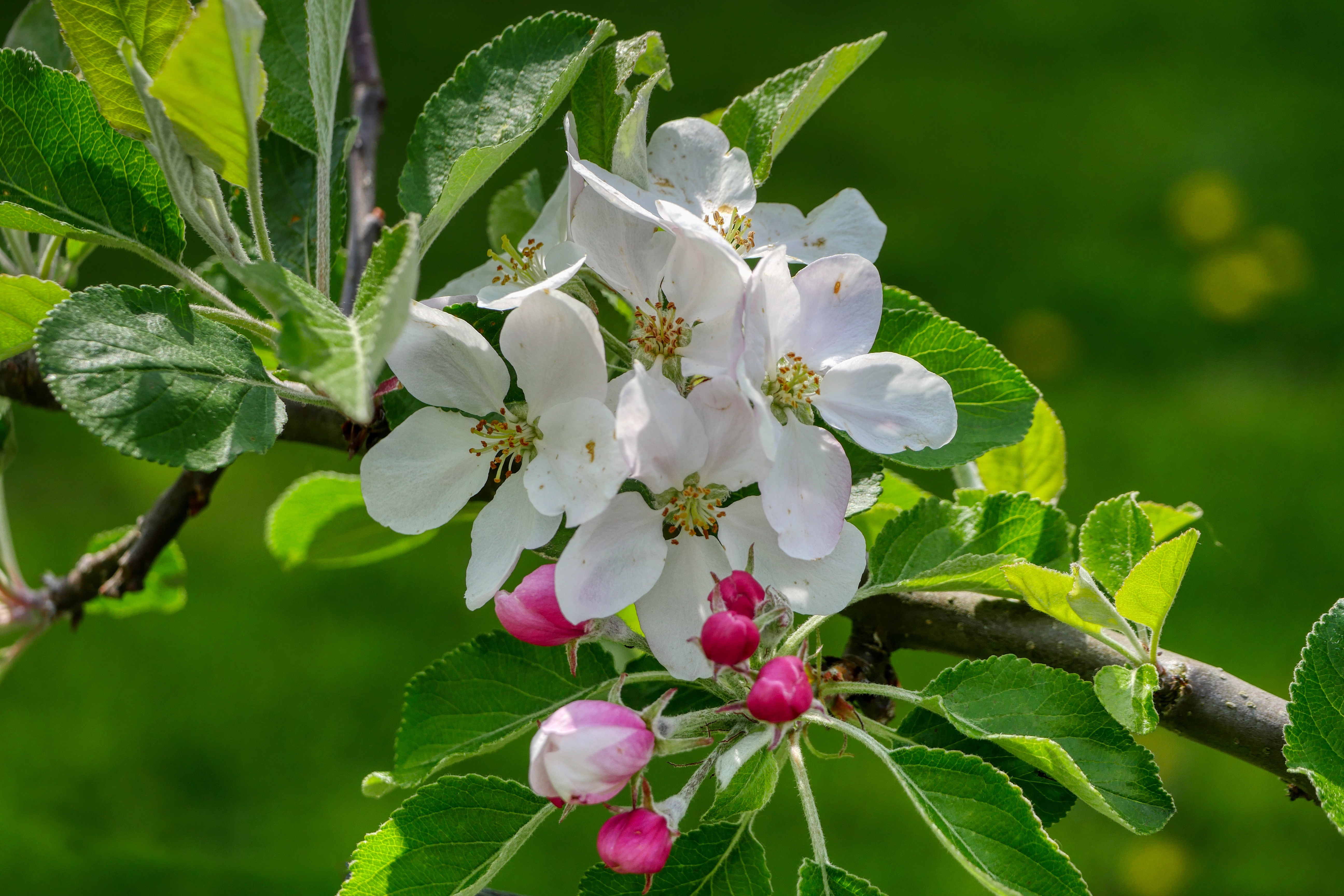 Image: Flowers, white, branch, leaves, green background