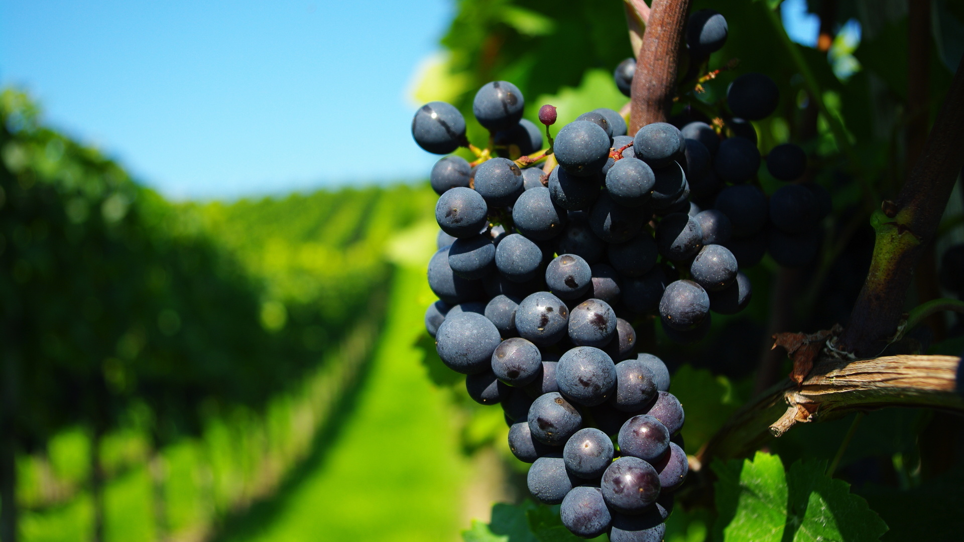 Image: Grapes, vine, bunch, fruit, vineyard, branches, greens, blurring