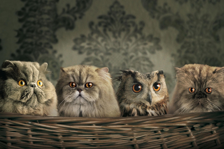Image: Cat, owl, camouflage, sight, eyes