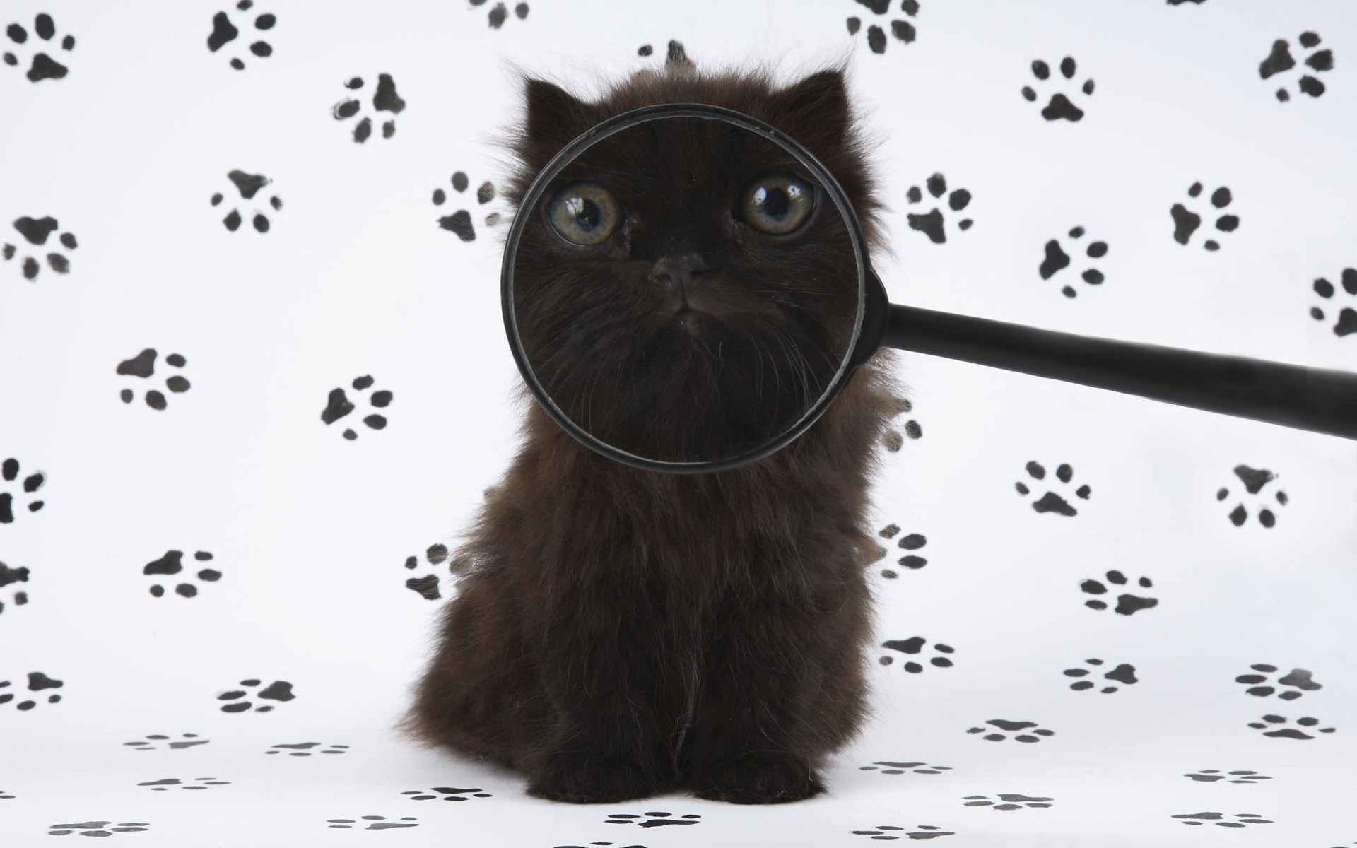 Image: Kitten, black, magnifier, muzzle, eyes, paws, traces, prints, white background