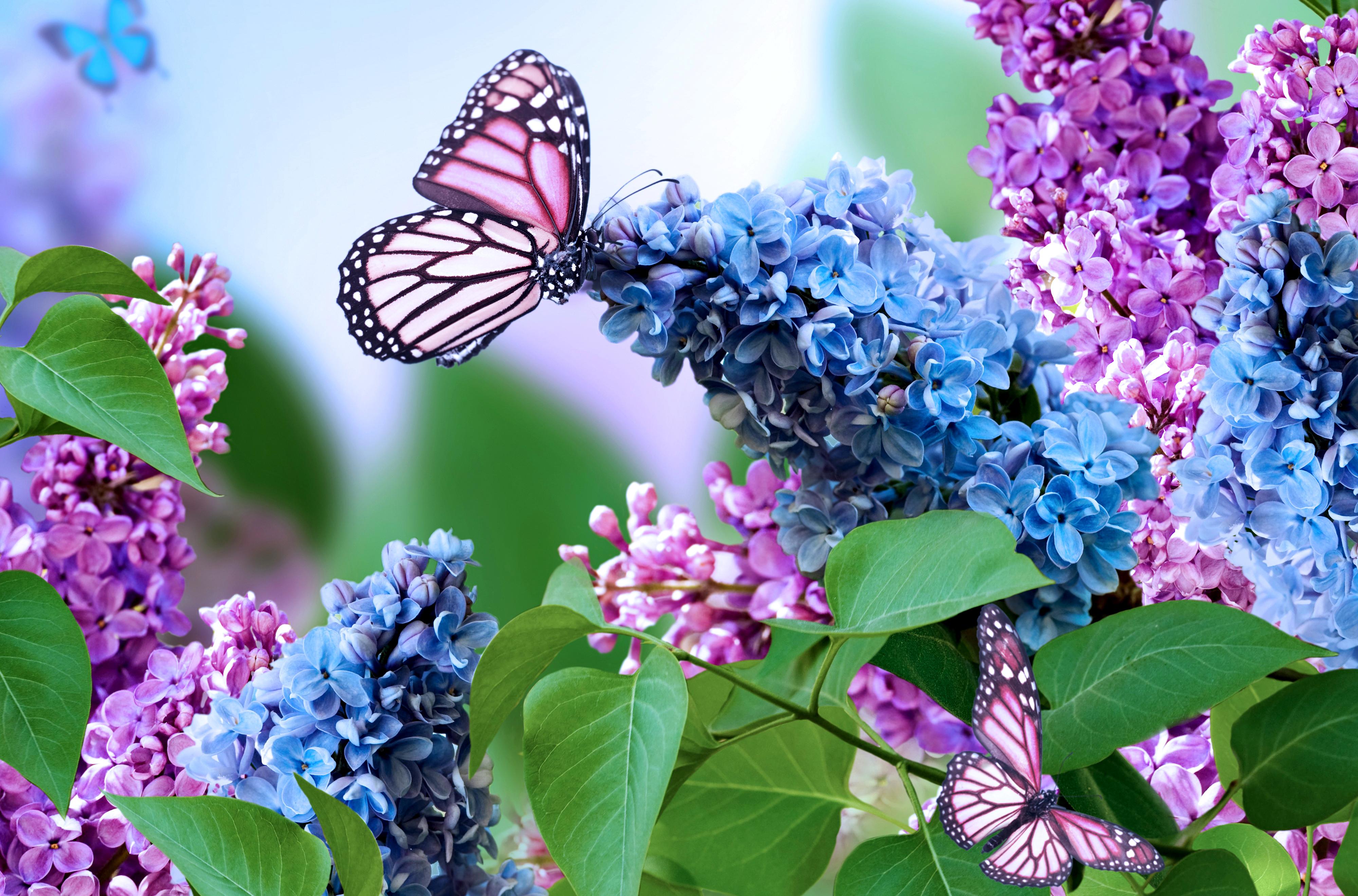 Картинка: Сирень, цветы, бабочка, листья