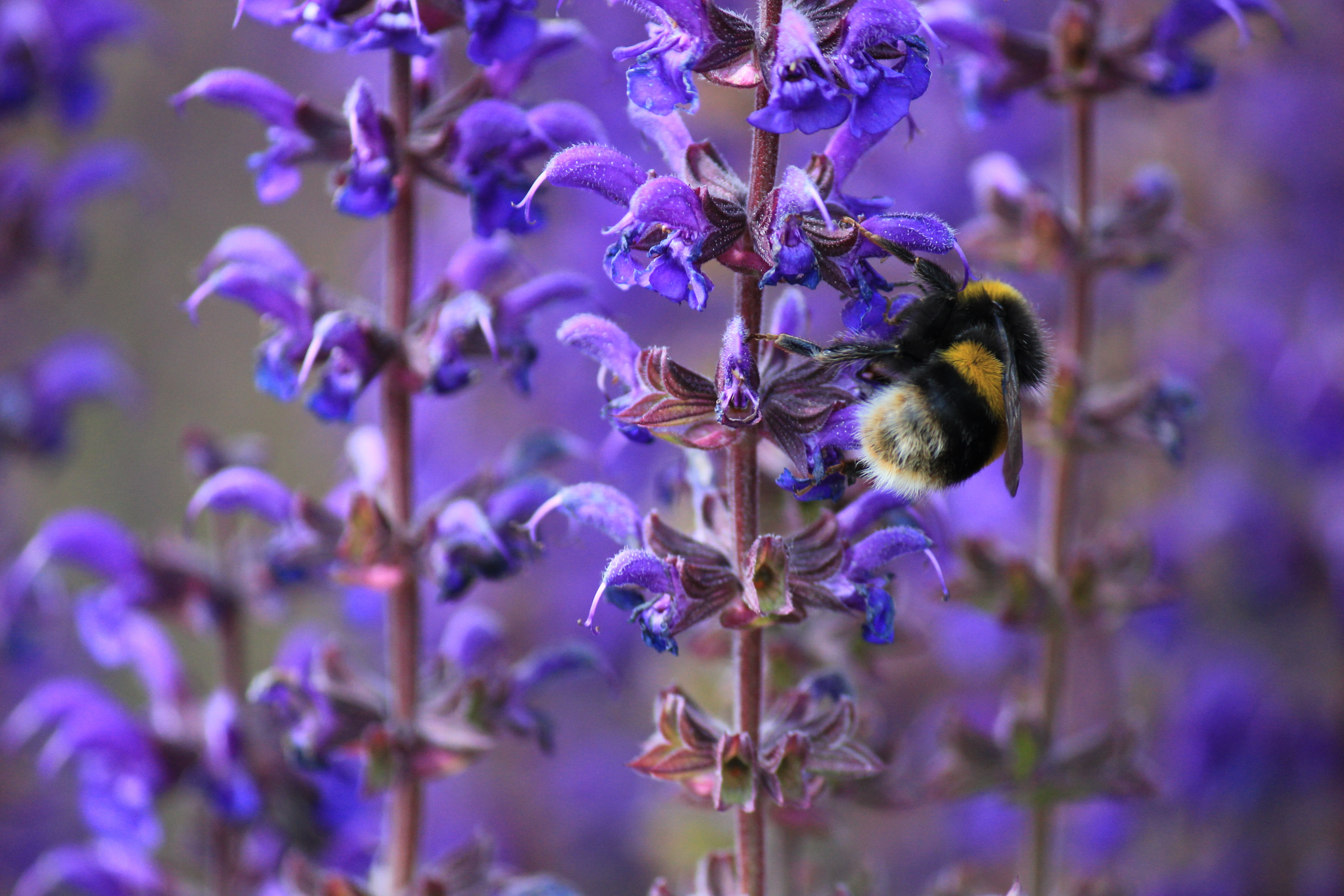 Image: Bumblebee, collects, nectar, flower