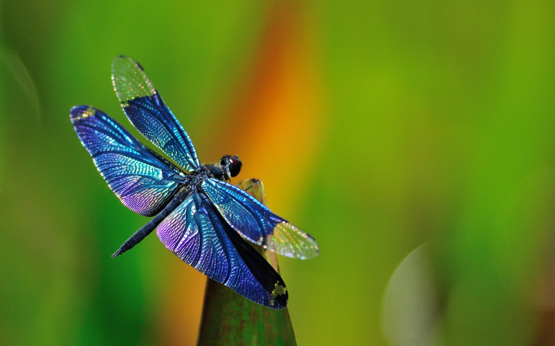 Картинка: Стрекоза, крылья, сидит, размытость, листок