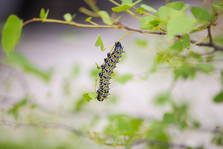 Картинка: Гусеница, на веточке, листья, размытый фон