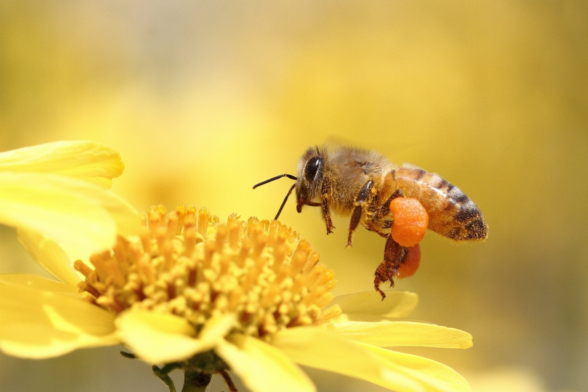 Image: Bee, collection, flower, yellow