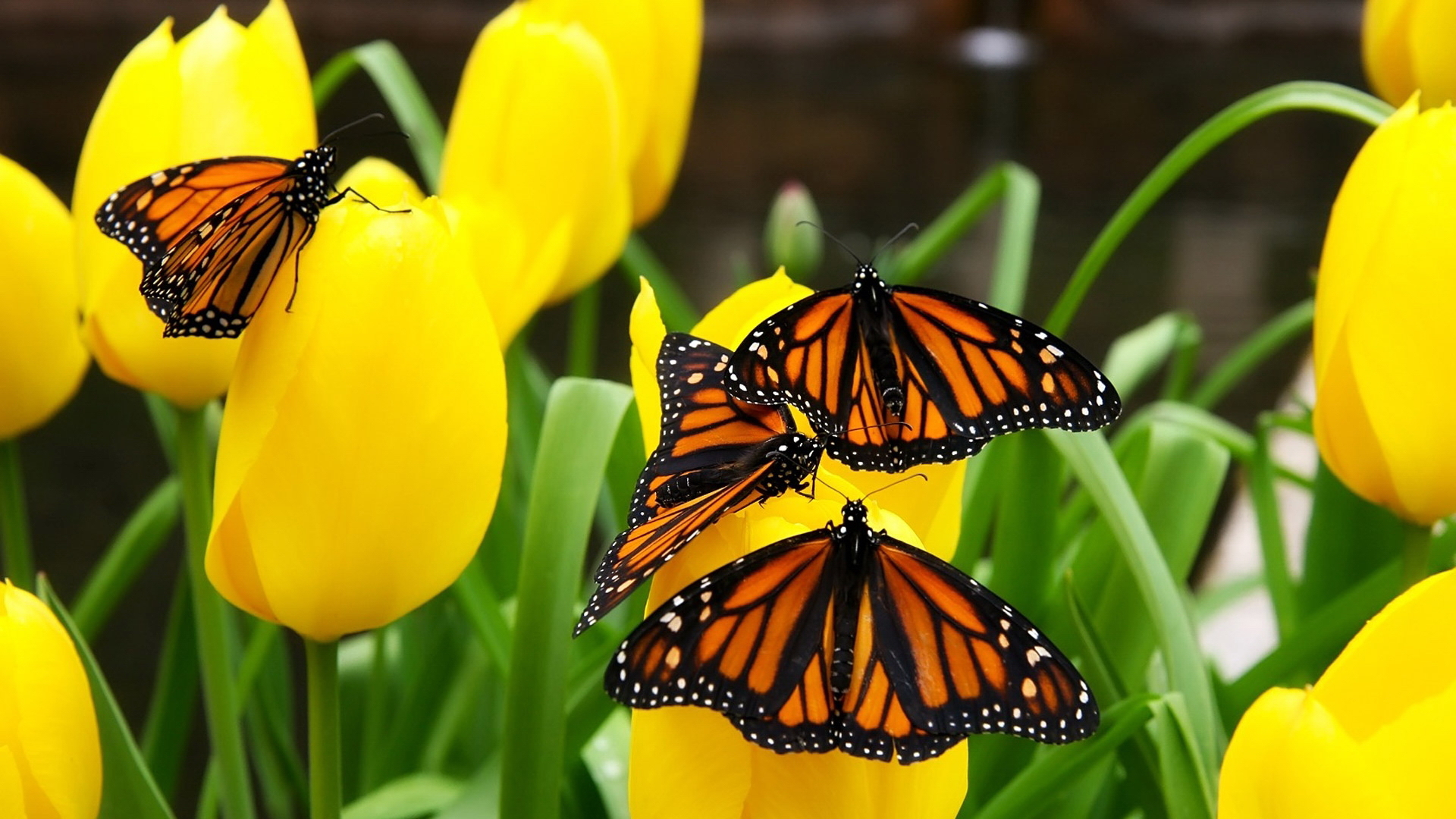 Image: Butterfly, yellow, tulips, flowers