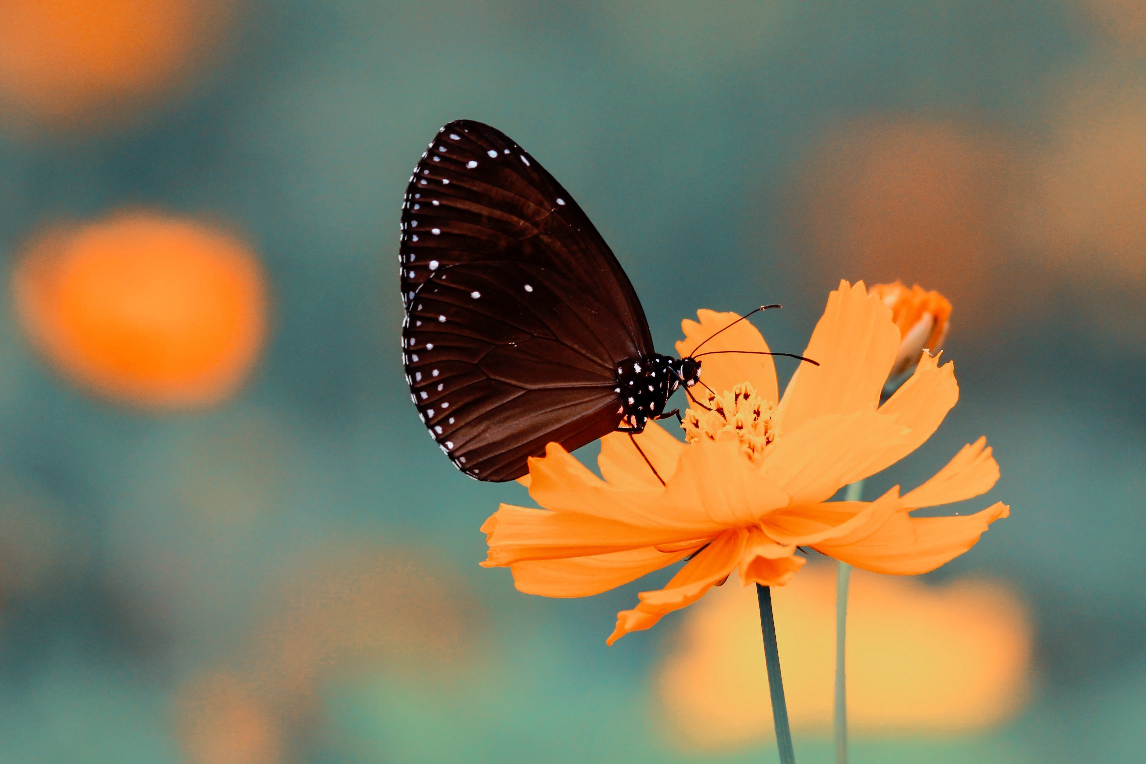Image: Butterfly, flower, yellow, blurred background
