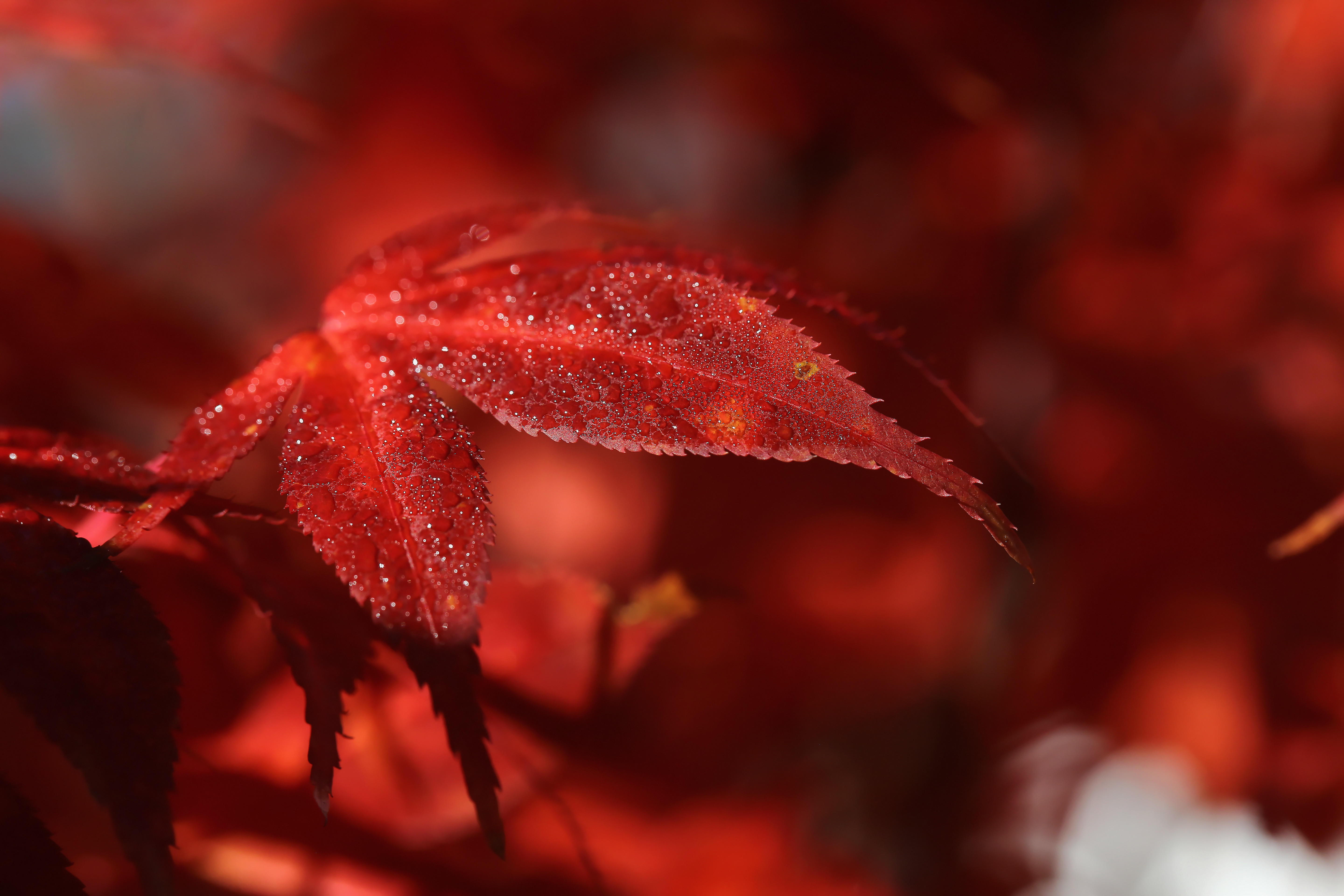 Image: Leaves, red, Burgundy, autumn