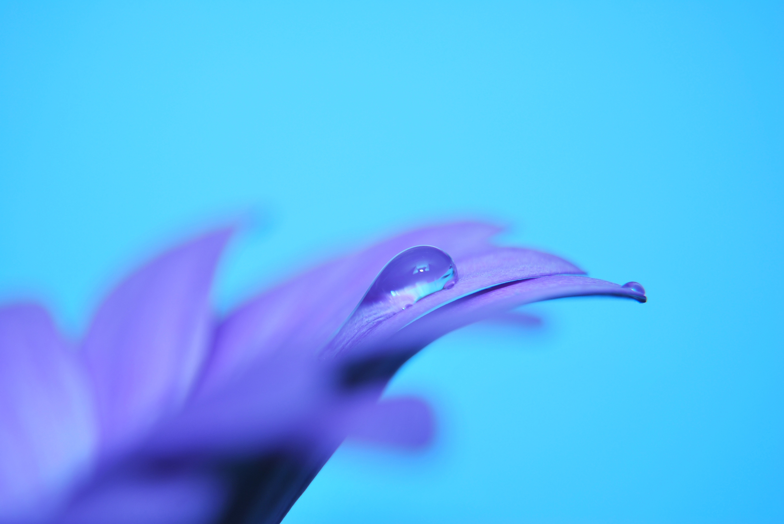 Image: Flower, lilac, purple, drop, blue background