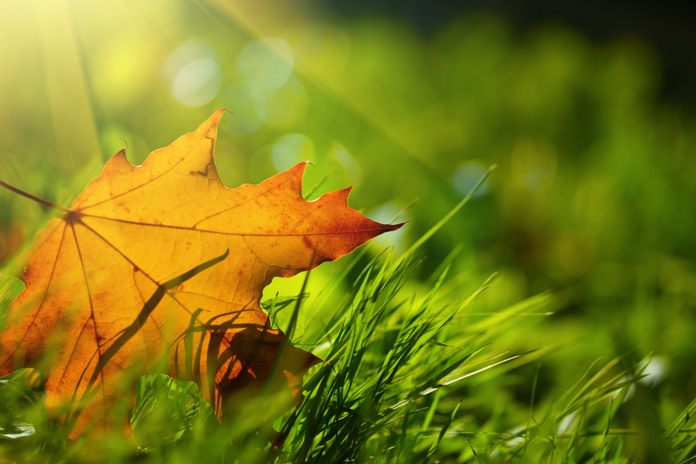 Картинка: Лист, жёлтый, осень, трава