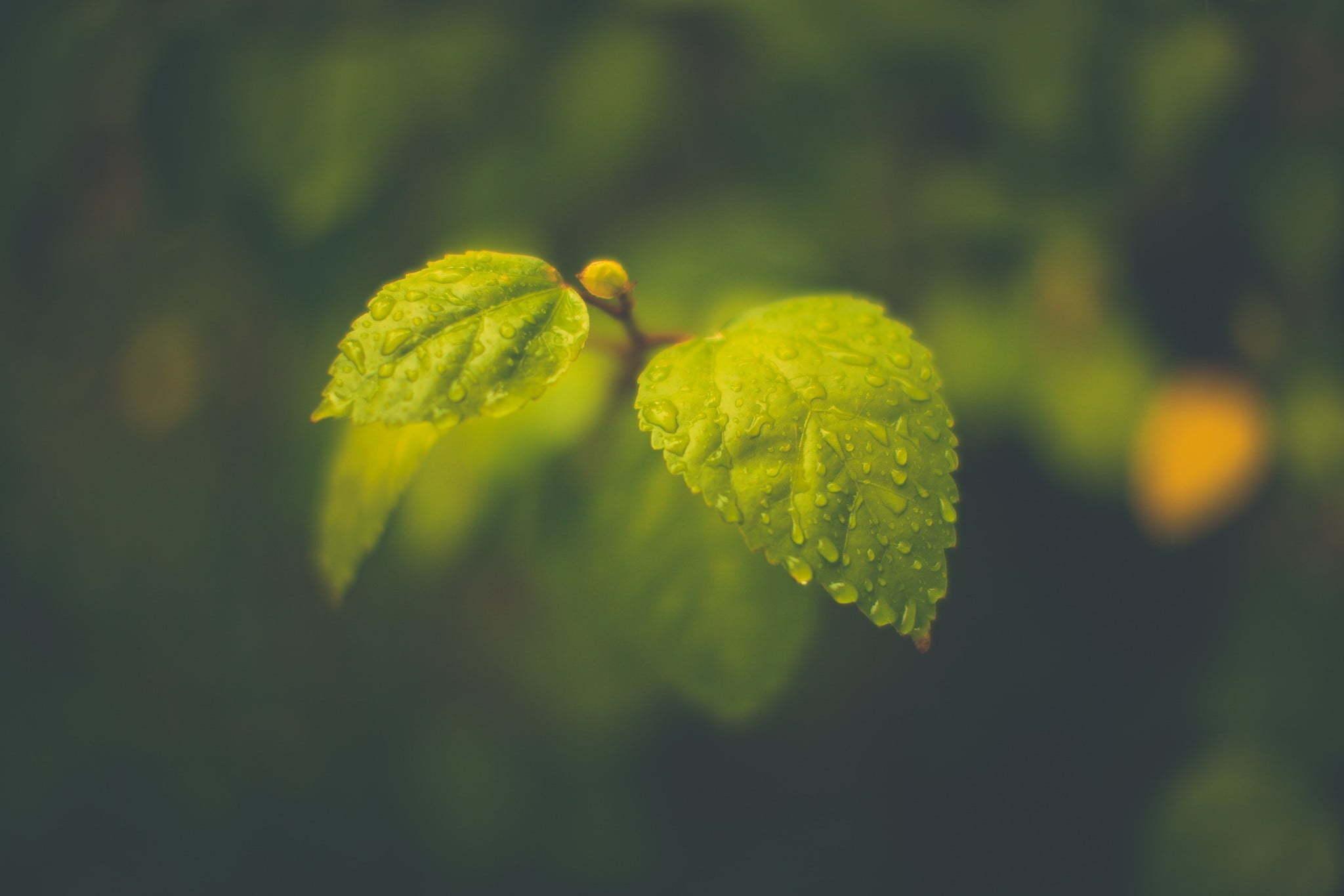 Картинка: Листья, ветка, капли, вода, фокус