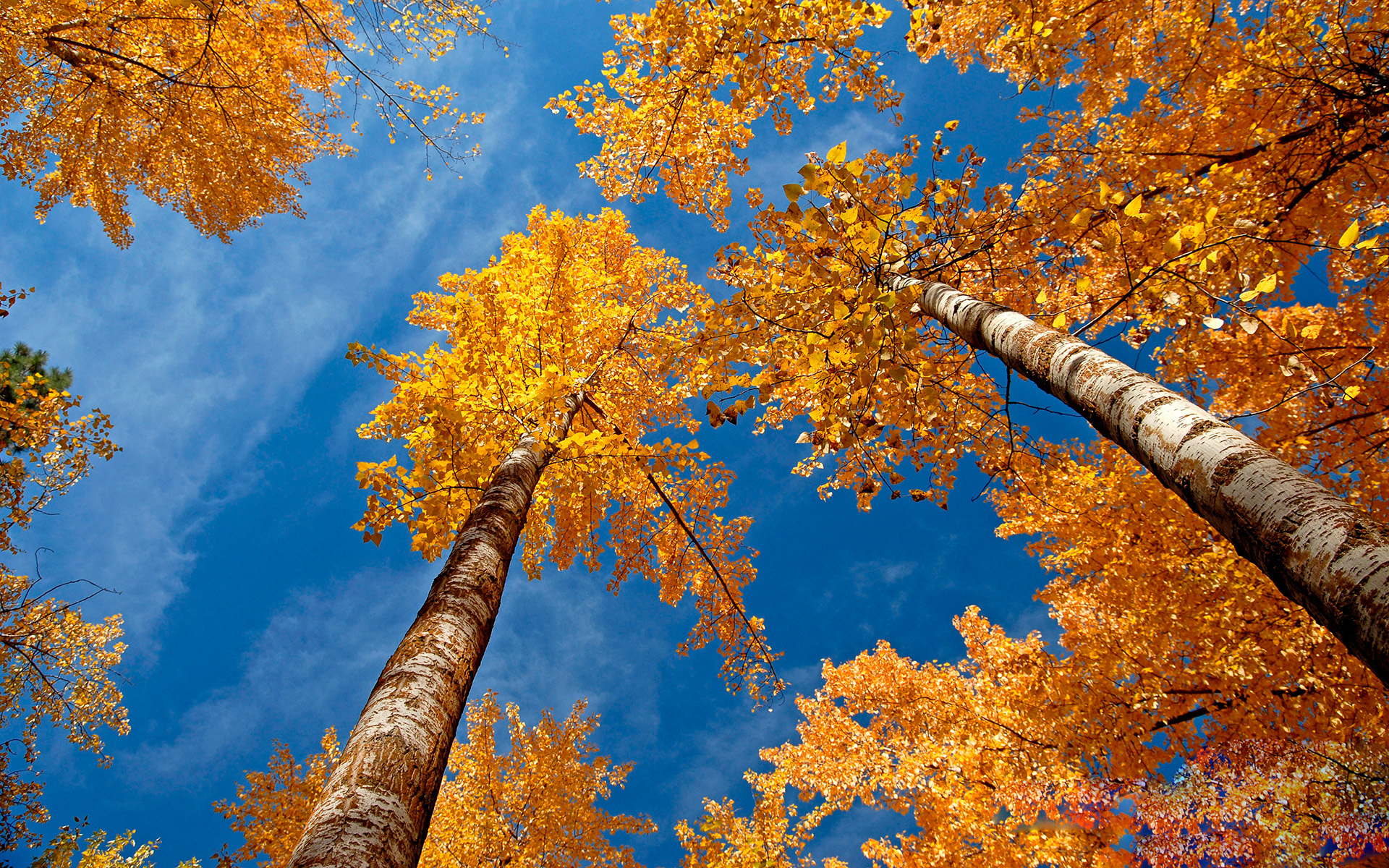 Картинка: Деревья, берёзы, листья, крона, осень, жёлтая, небо
