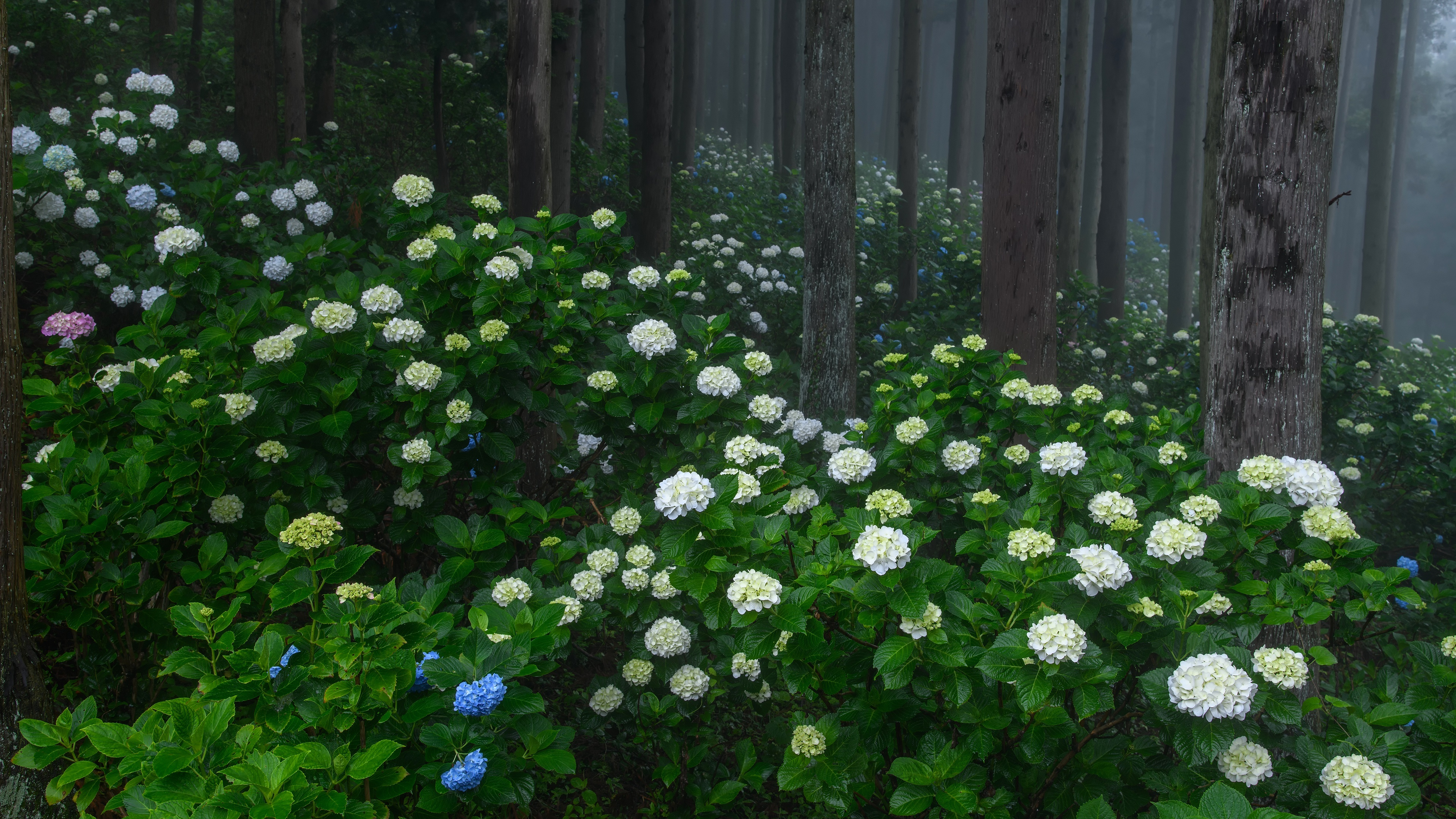 Картинка: Лес, кусты, цветы, гортензия, цветение, деревья