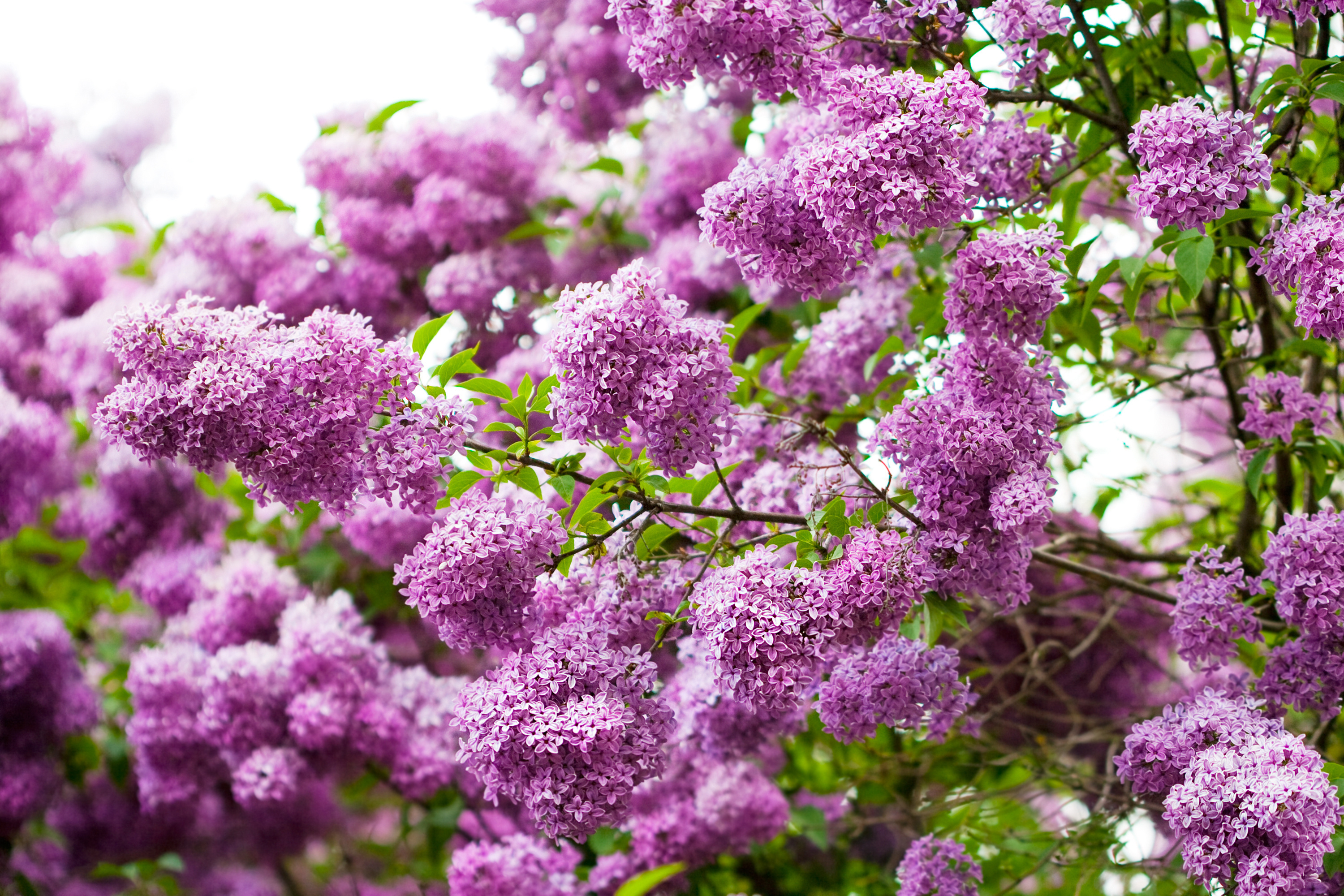 Image: Flowers, lilac, branches, leaves, spring, beauty
