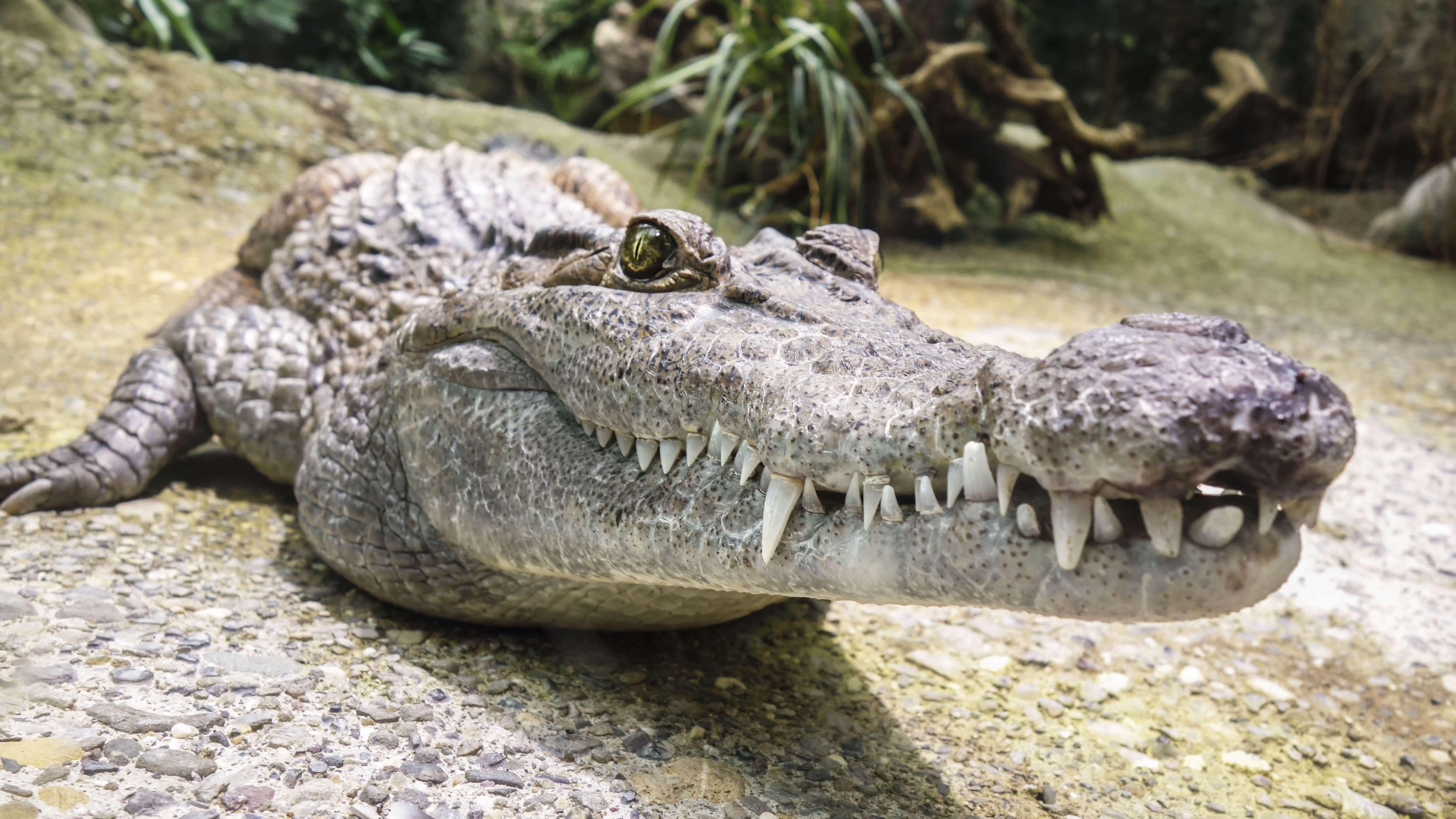 Картинка: Крокодил, рептилия, морда, зубы, пасть, глаза, камень