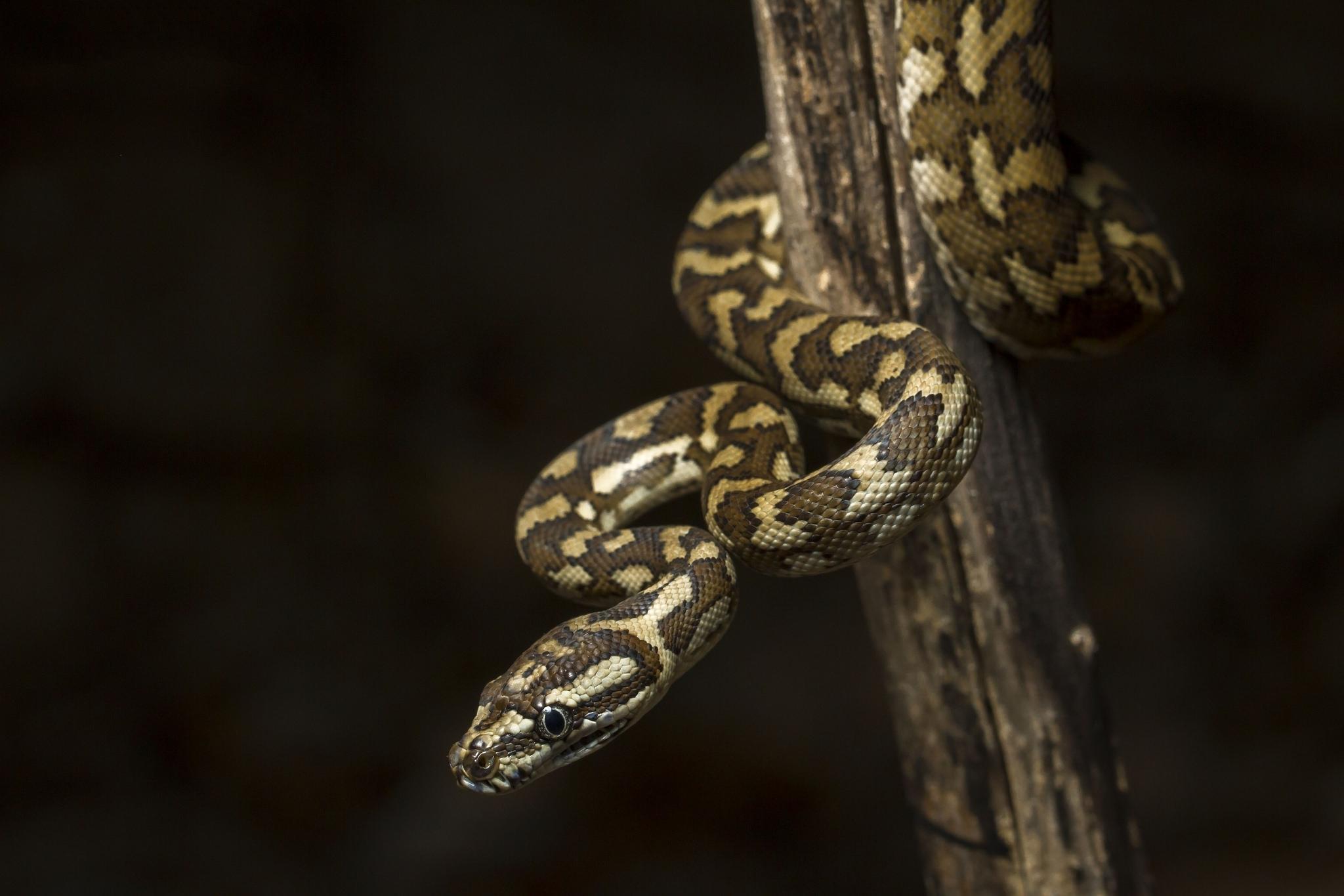 Картинка: Змея, пятна, ветка, тёмный фон, хладнокровие