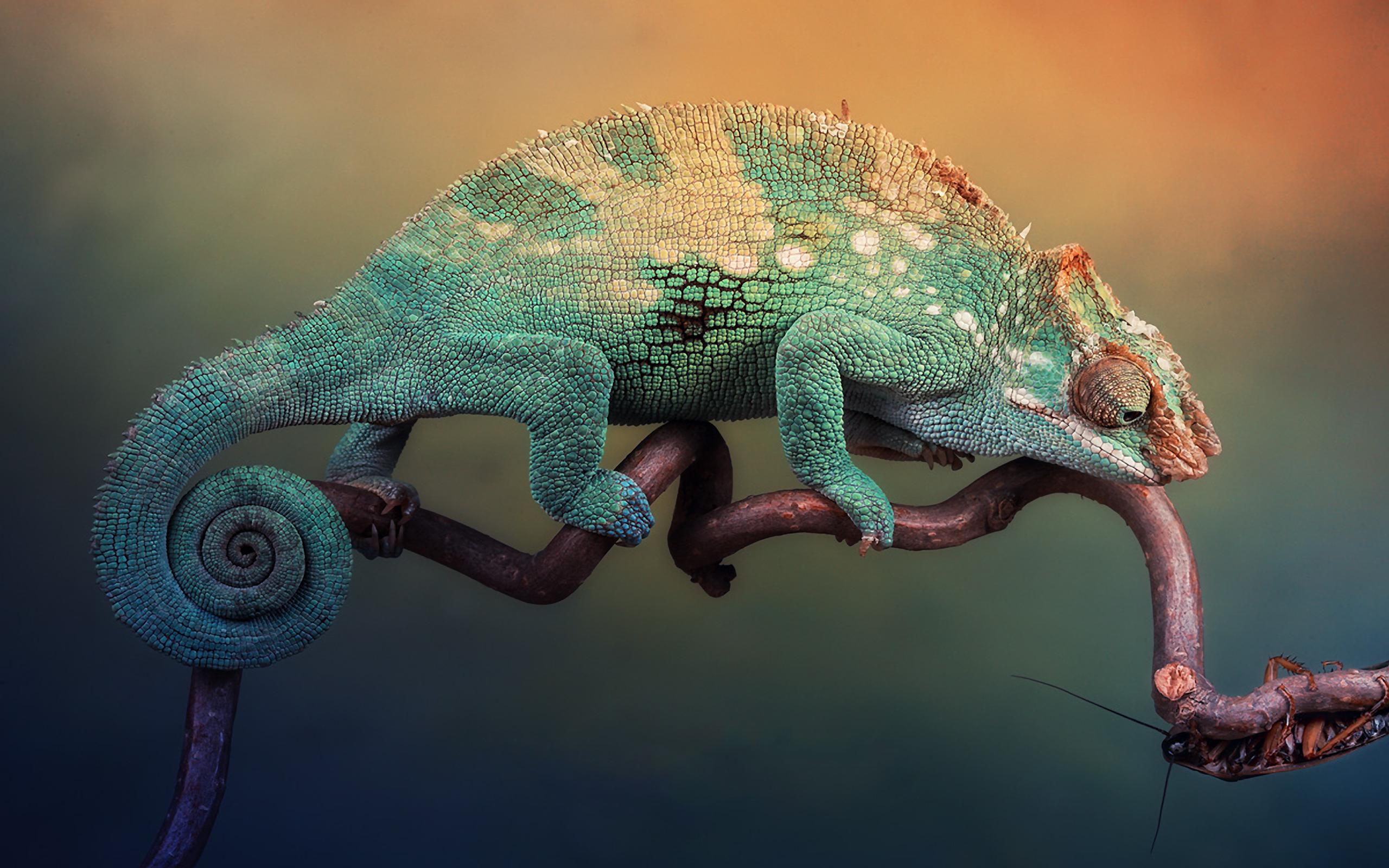 Картинка: Хамелеон, окрас, цвет, ветка, сидит, смотрит, таракан