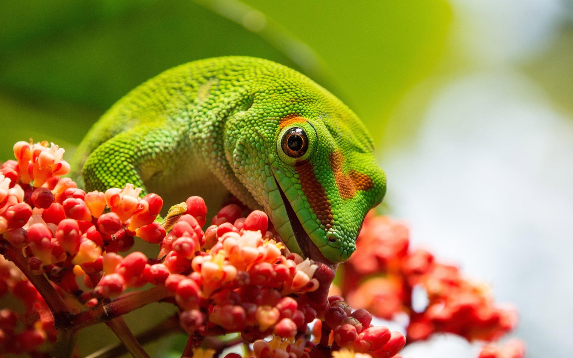 Картинка: Ящерица, Геккон, фельзум, ест, язык, зелёный