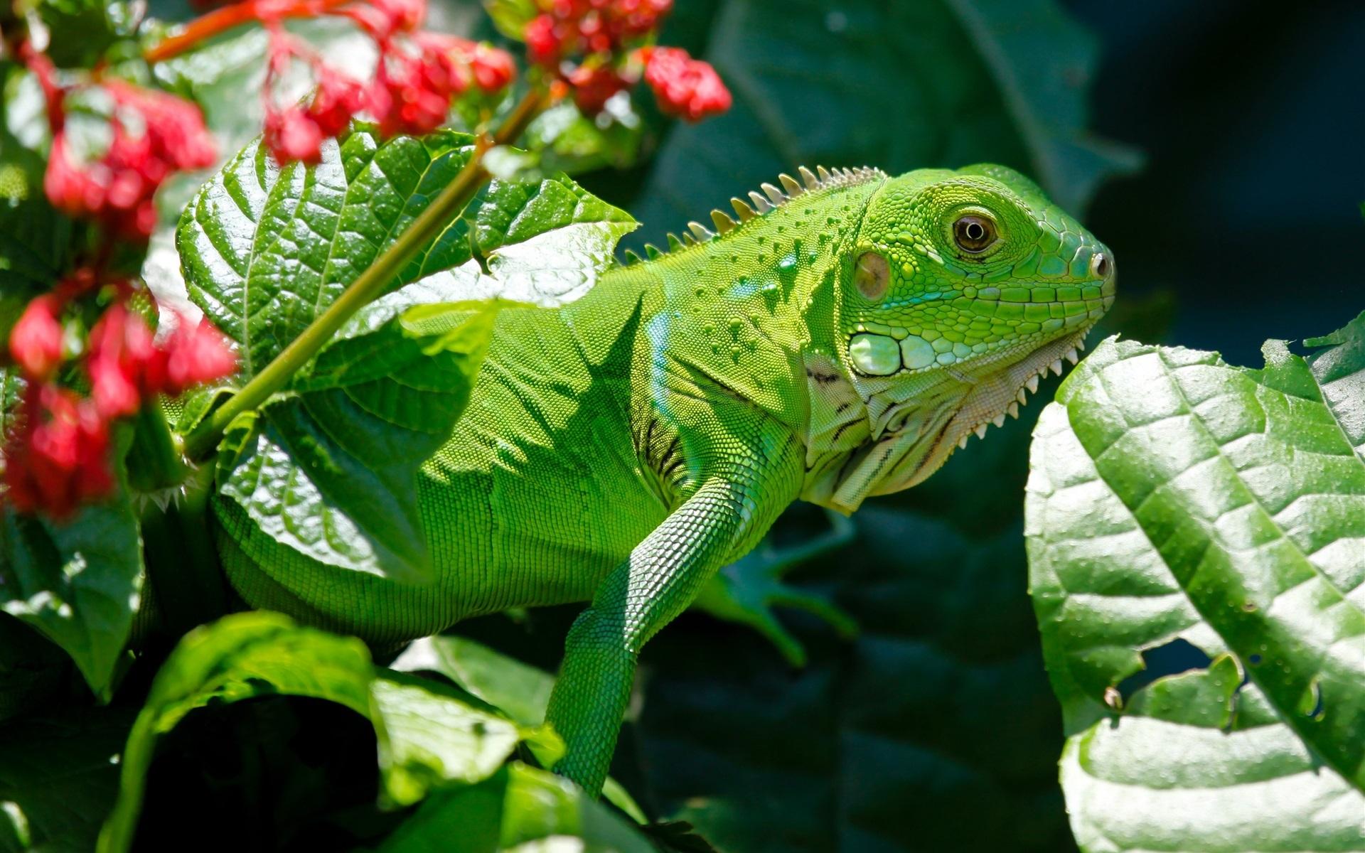 Картинка: Рептилия, игуана, зелёная, зелень, солнце