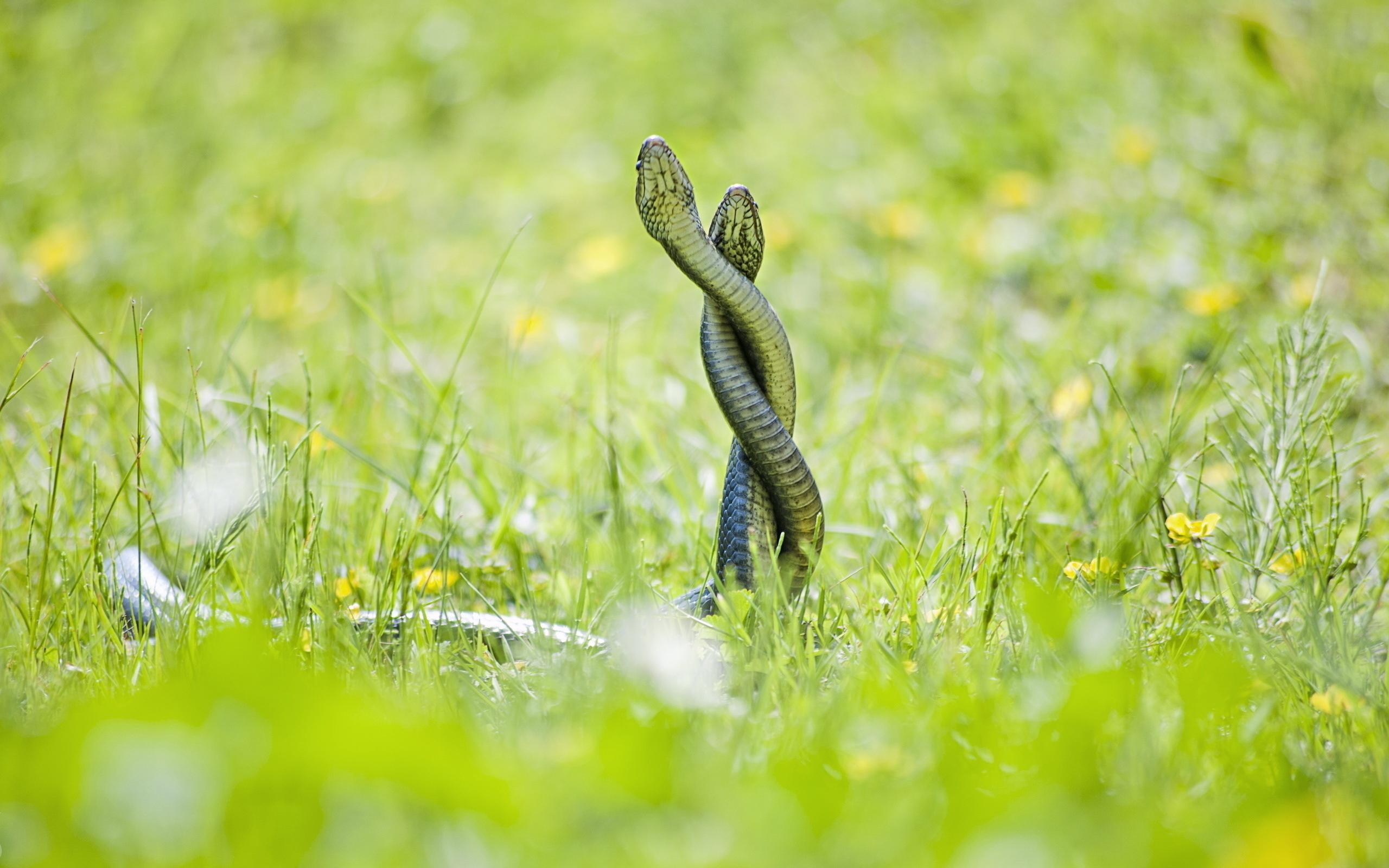 Картинка: Сплелись, змеи, две, трава