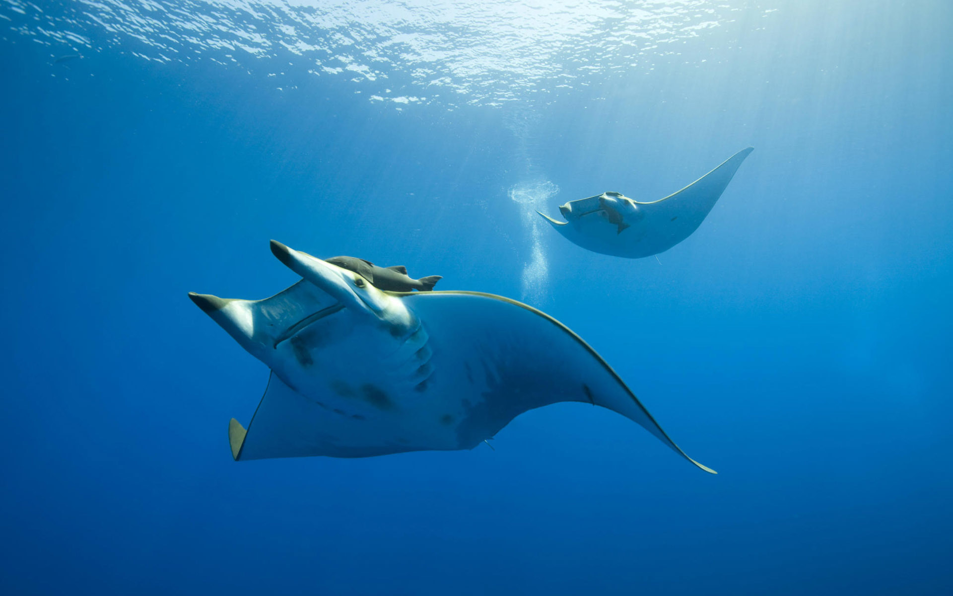 Картинка: Скат манта, два, плывут, вода, океан, море, свет, пузырьки