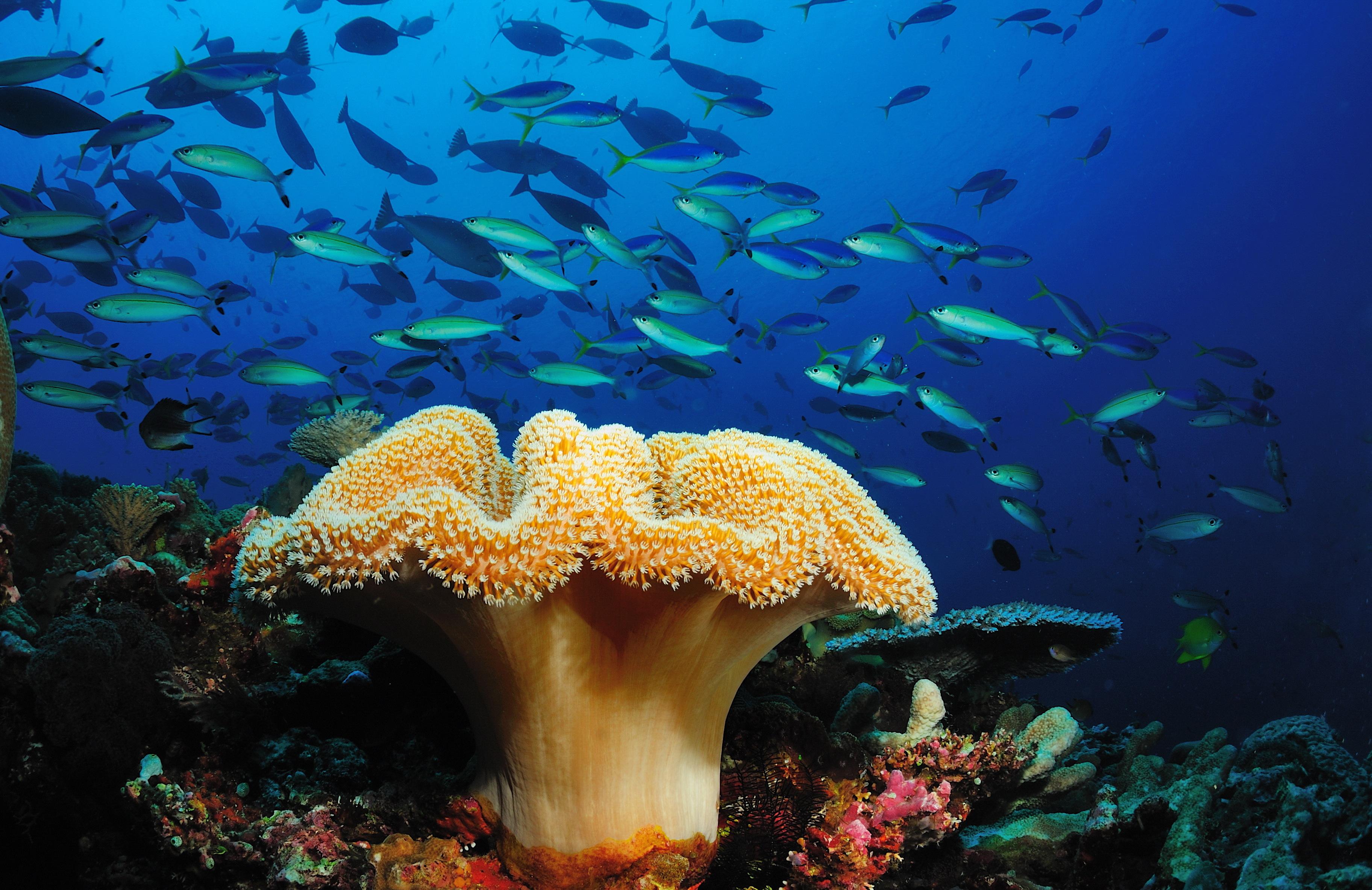 Картинка: Рыбы, косяк, кораллы, морской гриб