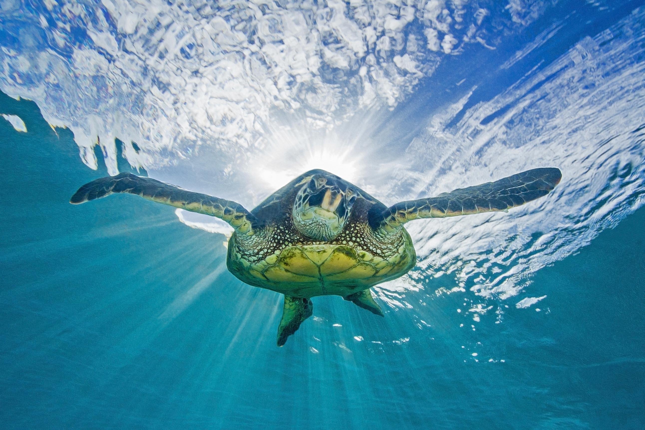 Картинка: Черепаха, плавает, свет, поверхность, океан, небо, под водой