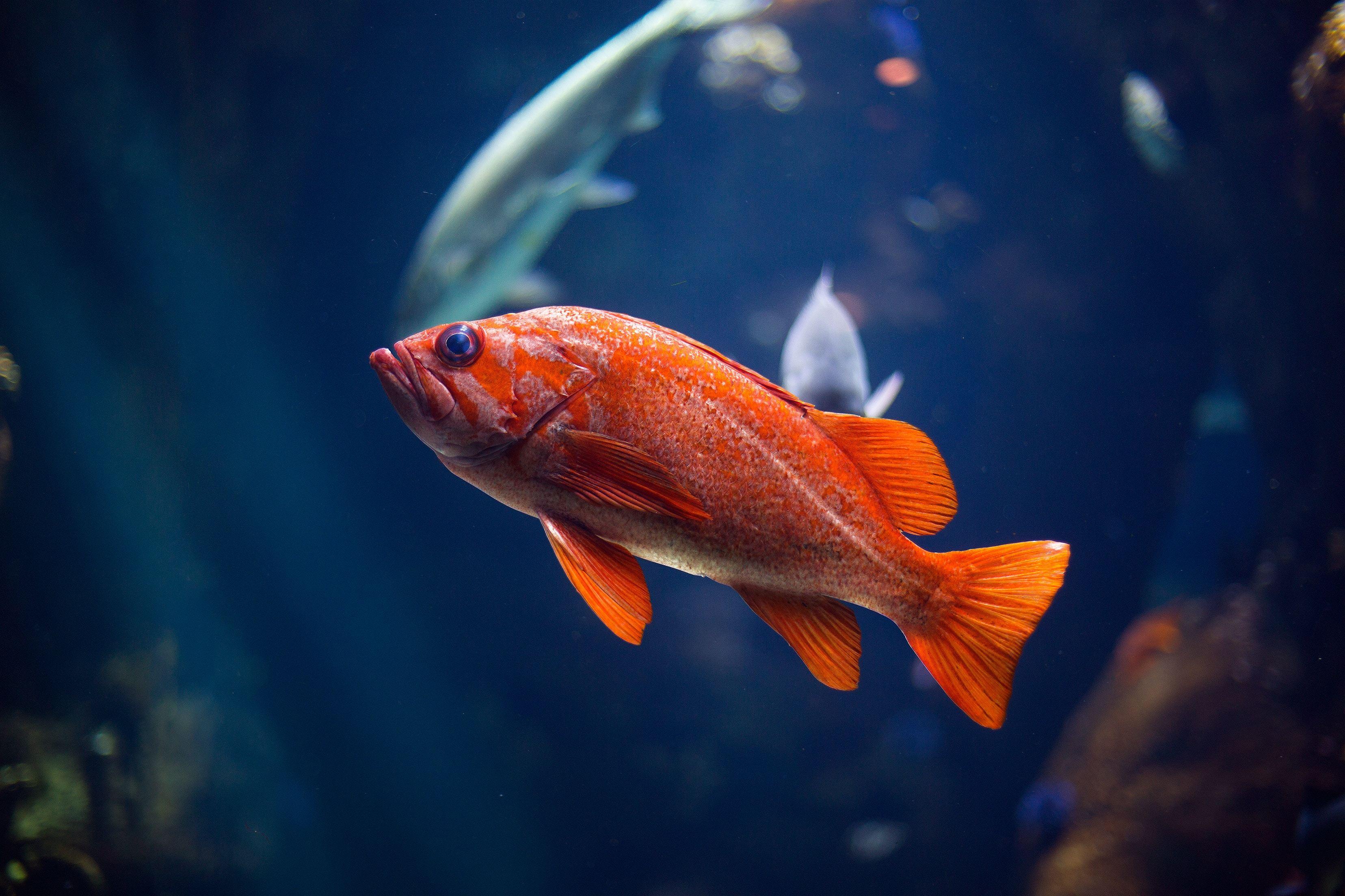 Картинка: Рыба, чешуя, плавники, глаз, вода, свет