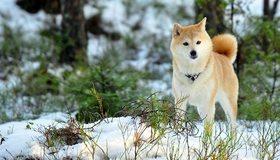 Картинка: Собака, Акита, снег, зима, прогулка, ветки, деревья, хвойный лес