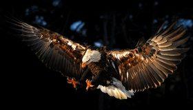 Картинка: Белоголовый орлан, орёл, летит, крылья, хищная, птица, тёмный фон