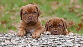 Картинка: Бордосский дог, щенки, малыши, взгляд, осторожность
