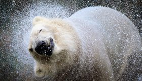Картинка: Белый, медведь, брызги, морда, нос, встряска, вода