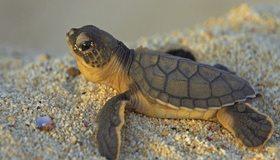 Картинка: Черепаха, черепашка, маленькая, панцирь, голова, глаз, галька