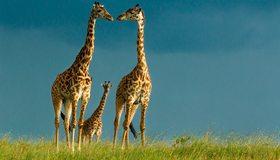 Картинка: Жирафы, длинная шея, Саванна, Африка, дикая природа, небо, трава
