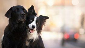 Картинка: Собаки, лабрадор, бордер-колли, морда, уши, две, позируют