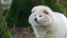 Картинка: Енотовидная, собака, хищник, всеядный, белый, пушистый, нос, ушки