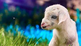 Картинка: Козлёнок, детёныш, белый, маленький, глаз, трава, боке