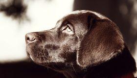 Картинка: Лабрадор, собака, пёс, нос, глаз, уши, морда, профиль, шоколадный окрас