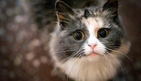 Картинка: Кошка, пушистая, мордочка, глаза, зрачки, уши, нос, усы